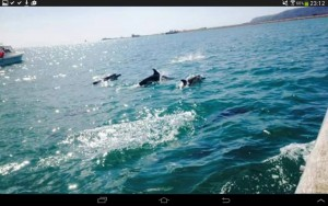 Leanne Chapwicks photo of Dolphins in Weymouth Bay 2015